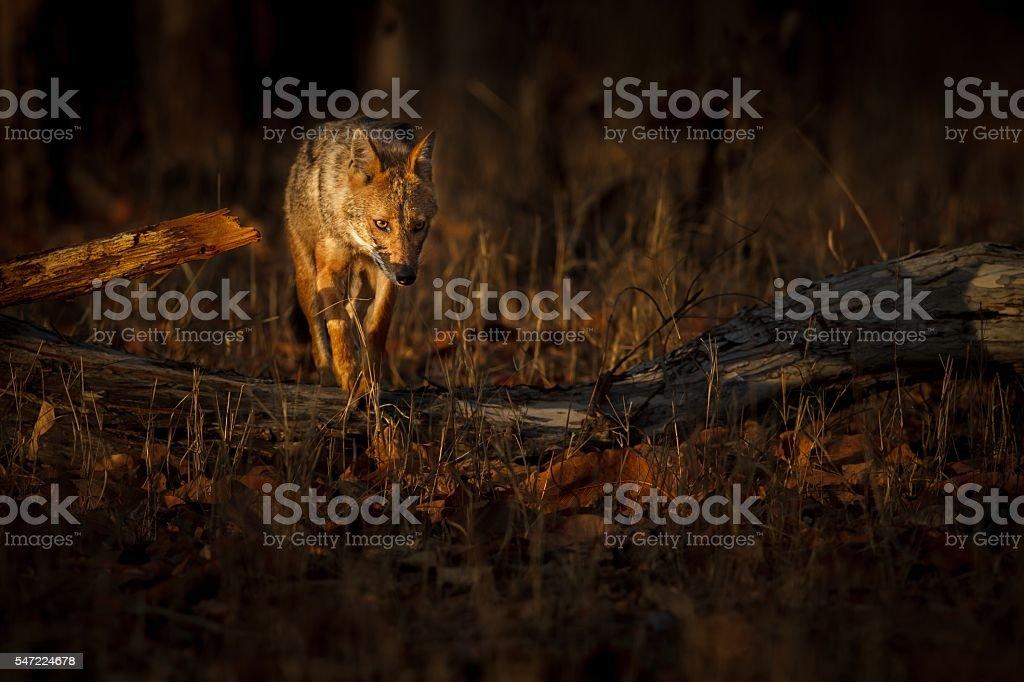 Beautiful golden jackal in nice soft light stock photo