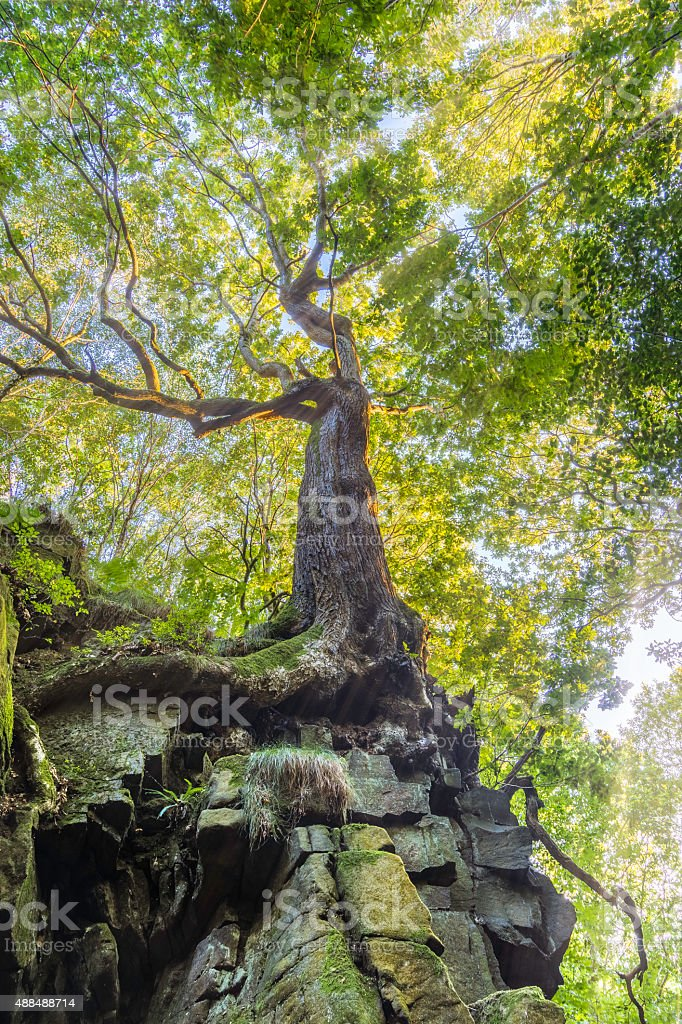 Beautiful Golden Light Shining Through Forest Onto Interesting Oak Tree. stock photo