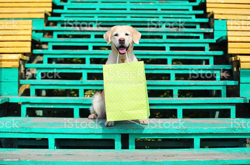 Beautiful Golden Retriever dog holding green shopping bag in teeth stock photo