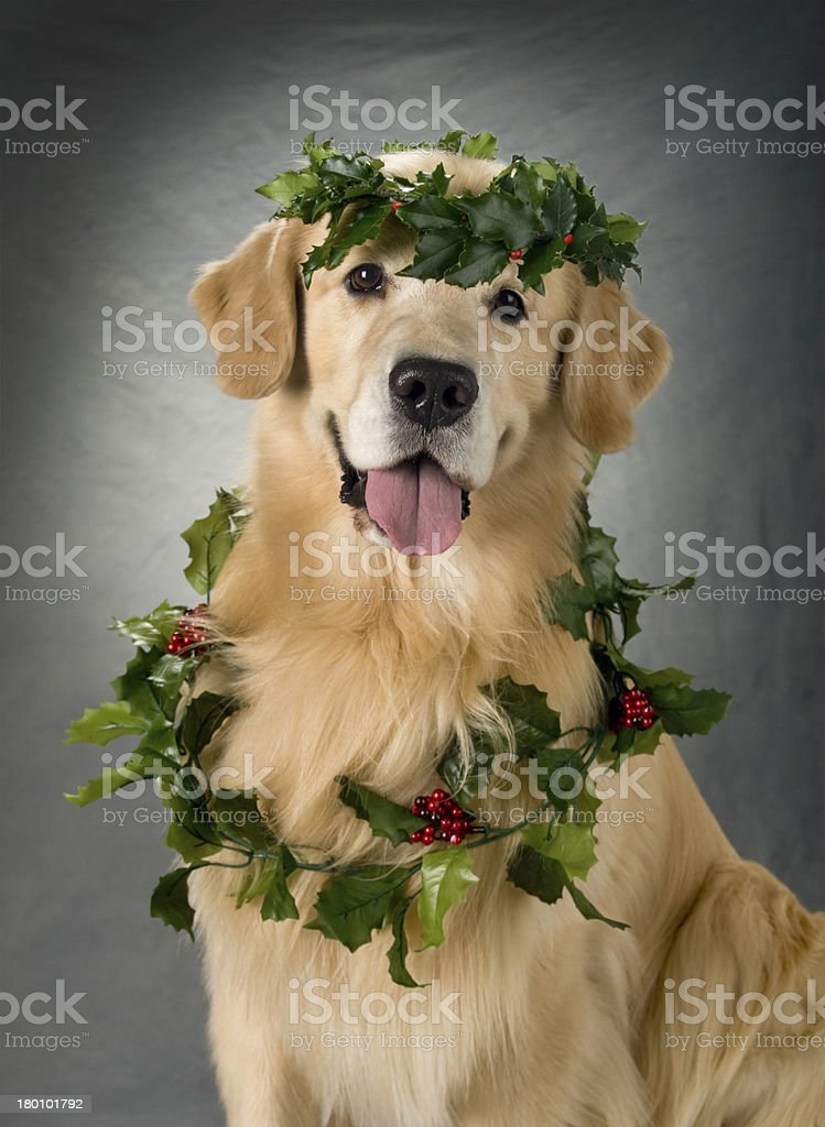 Beautiful Golden Retriever dog with holiday garland royalty-free stock photo
