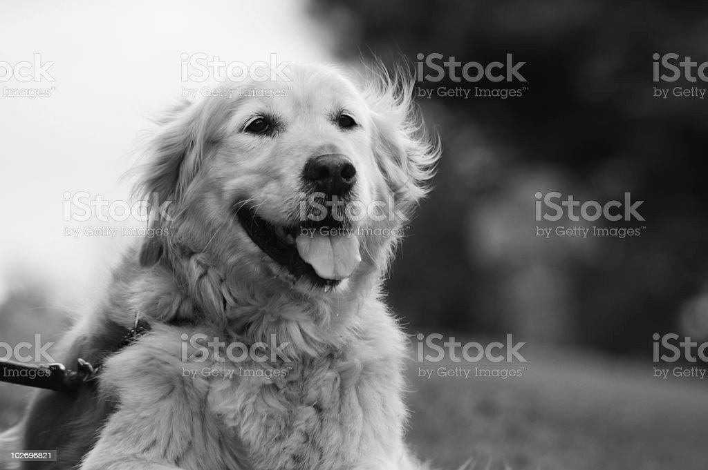 Beautiful Golden Retriever stock photo