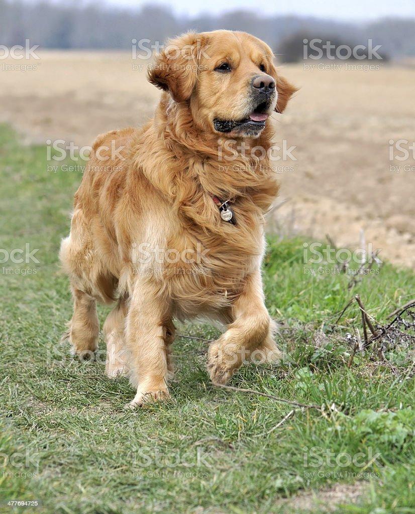 beautiful golden retriever royalty-free stock photo