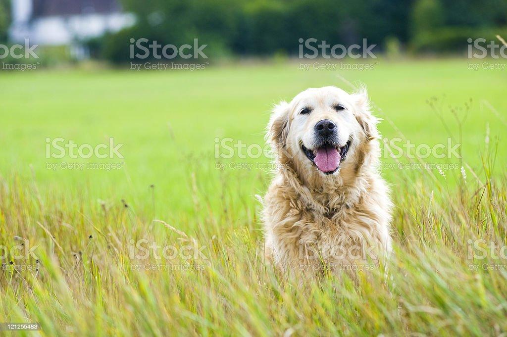 Beautiful golden retriever sitting in a field stock photo