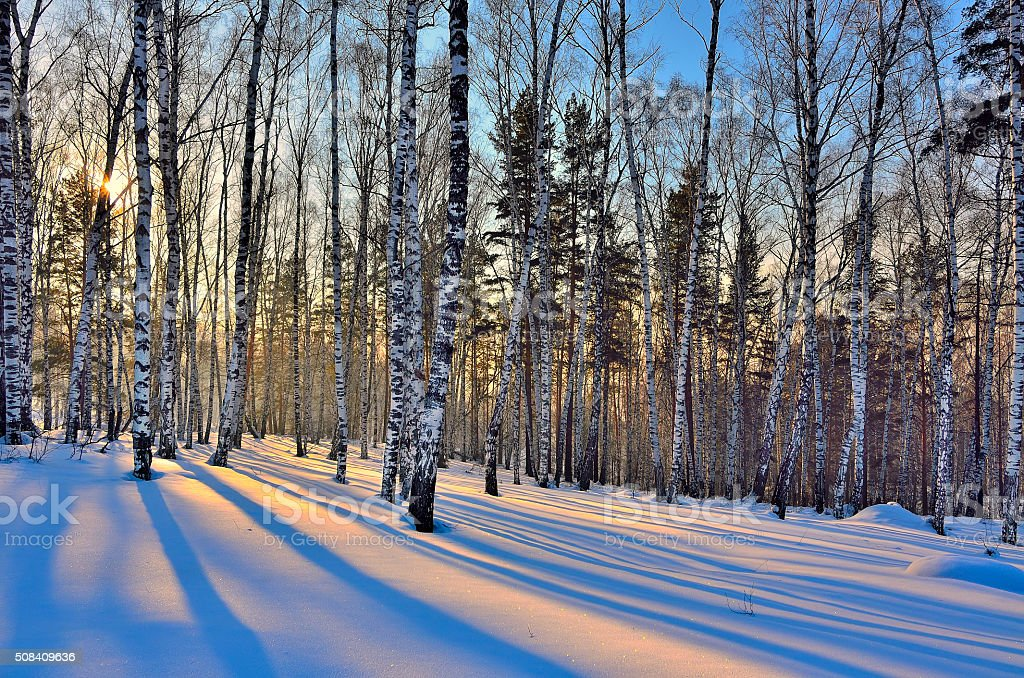 Beautiful golden sunset in the winter birches forest stock photo
