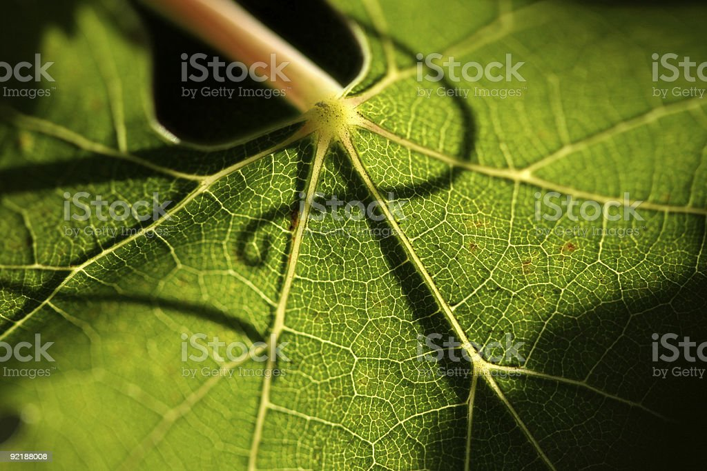 Beautiful Grape Leaf In the Morning Sun royalty-free stock photo
