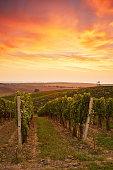 Beautiful grape vines in Moravia