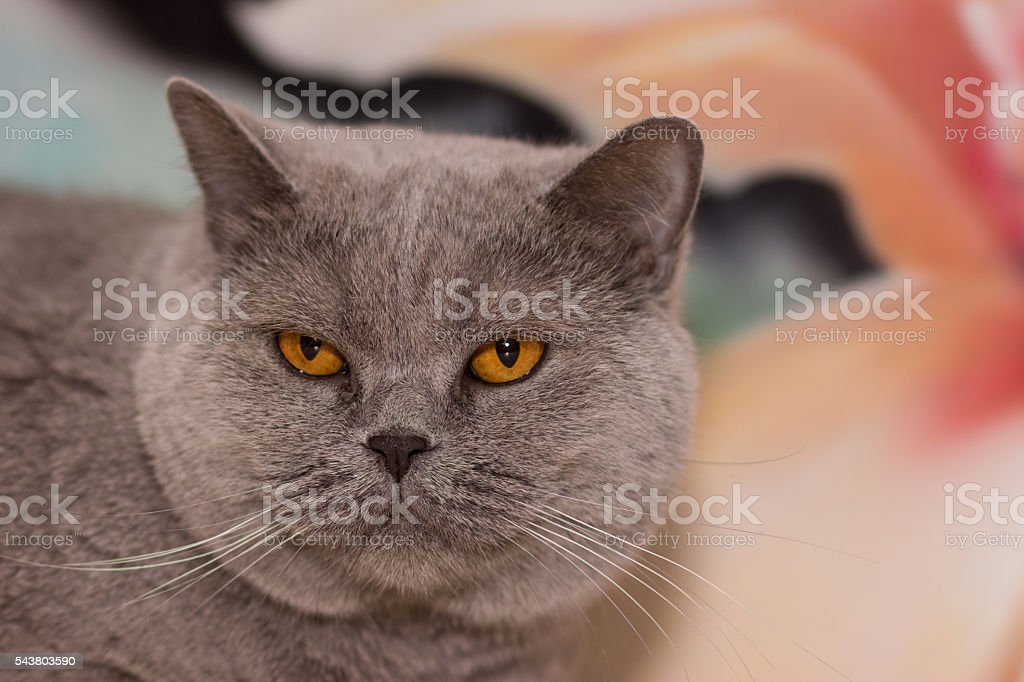 beautiful gray cat stock photo
