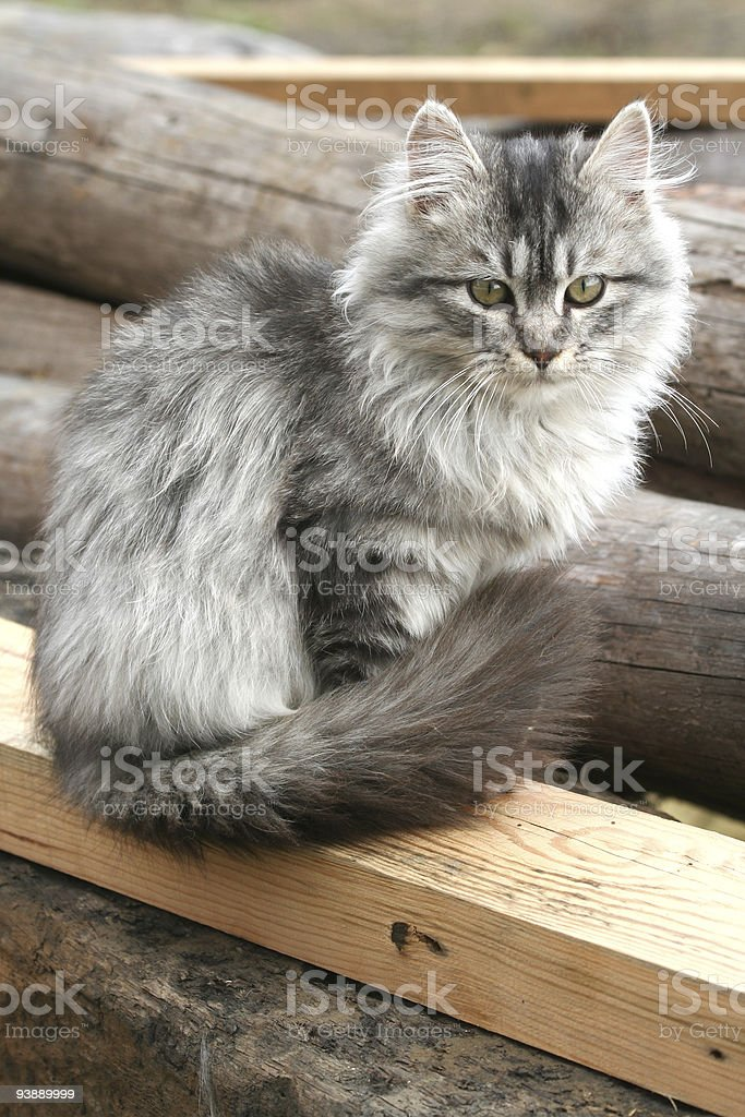Beautiful gray cat sits outdoors royalty-free stock photo
