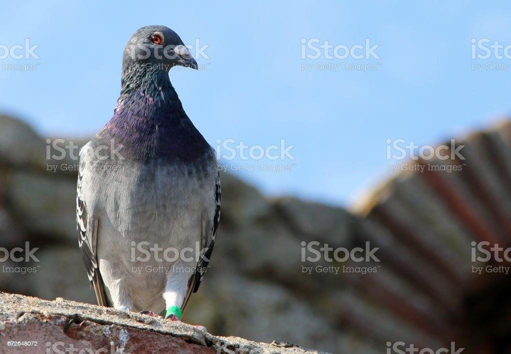 Beautiful gray dove on a background of stone building stock photo