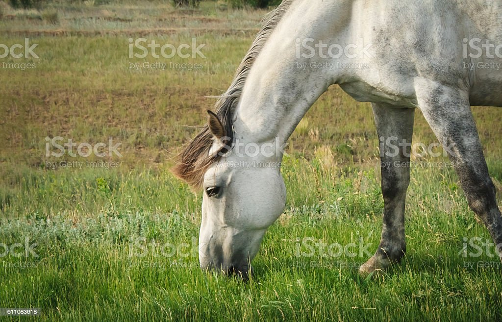 Beautiful gray horse grazing in a meadow stock photo