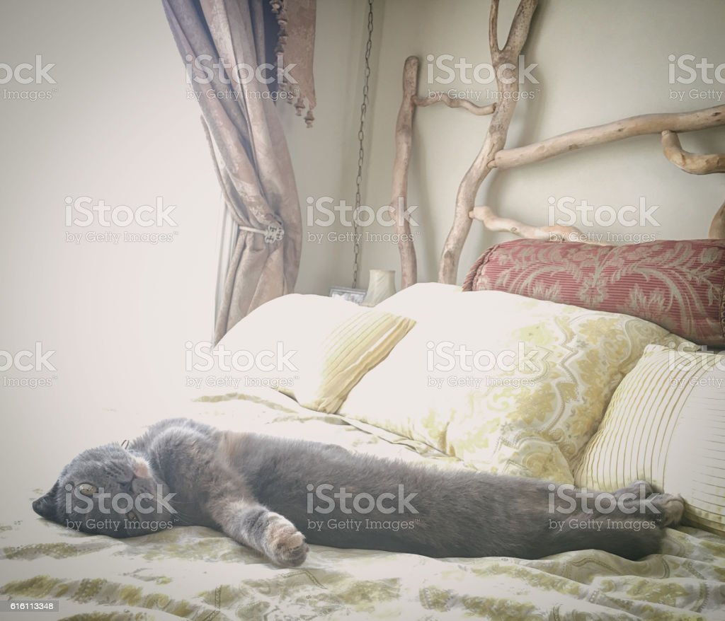 Beautiful gray Scottish Fold cat relaxing on a bed stock photo