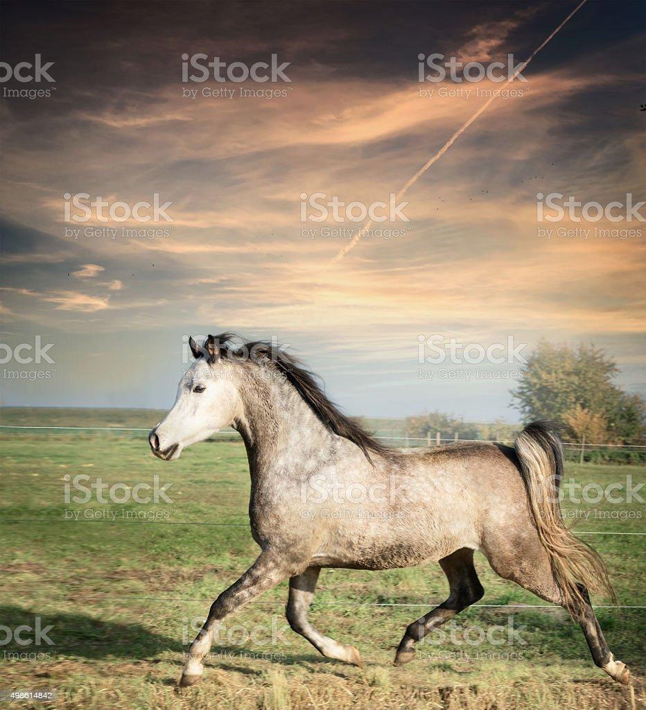 beautiful gray stallion horse running on the loose stock photo