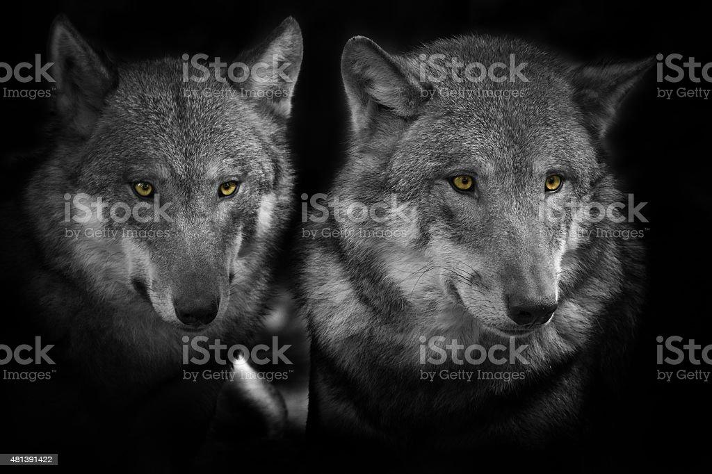Beautiful Gray Wolves stock photo