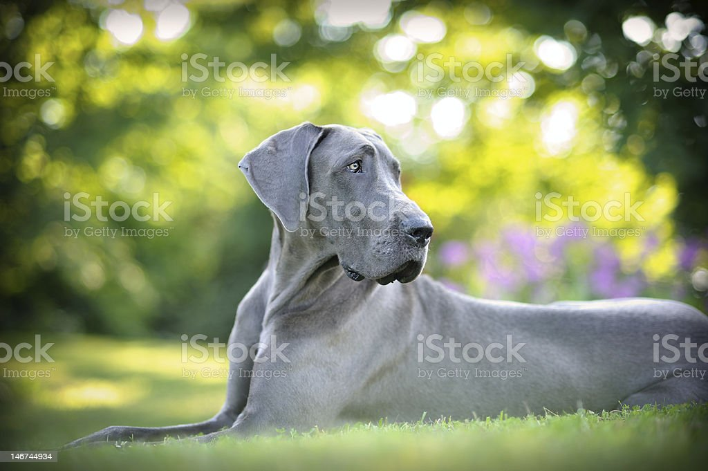 Beautiful Great Dane stock photo