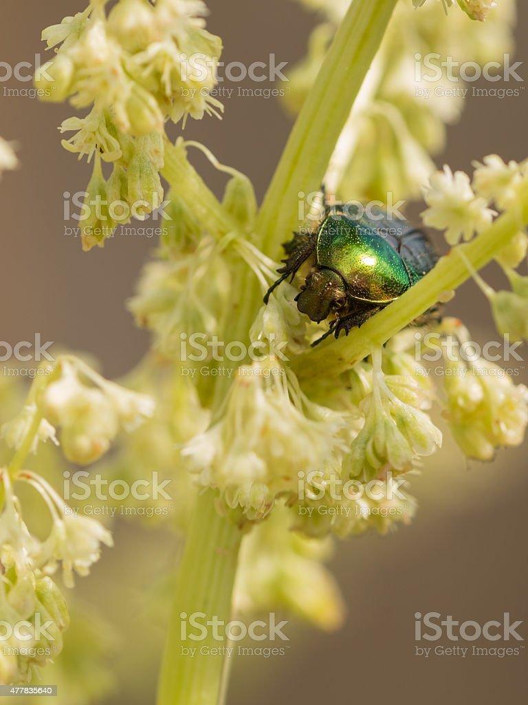 beautiful green beetle stock photo