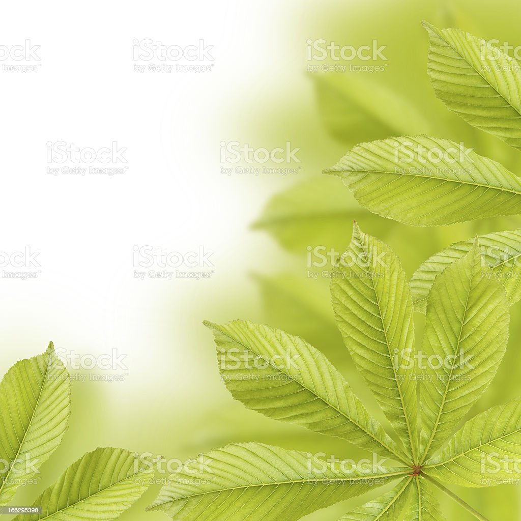 Beautiful green chestnut leaves royalty-free stock photo