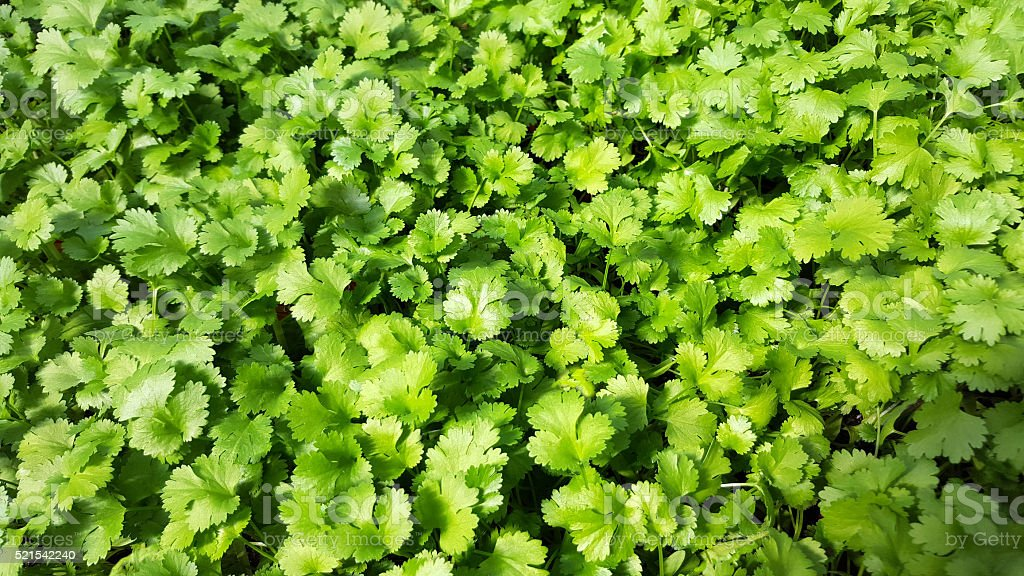 Beautiful Green Cilantro Herb Background stock photo