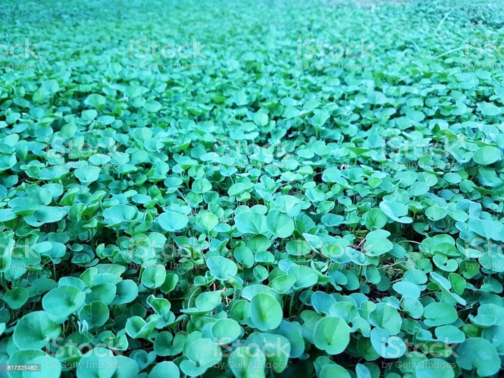 beautiful green Dichondra repens grass stock photo