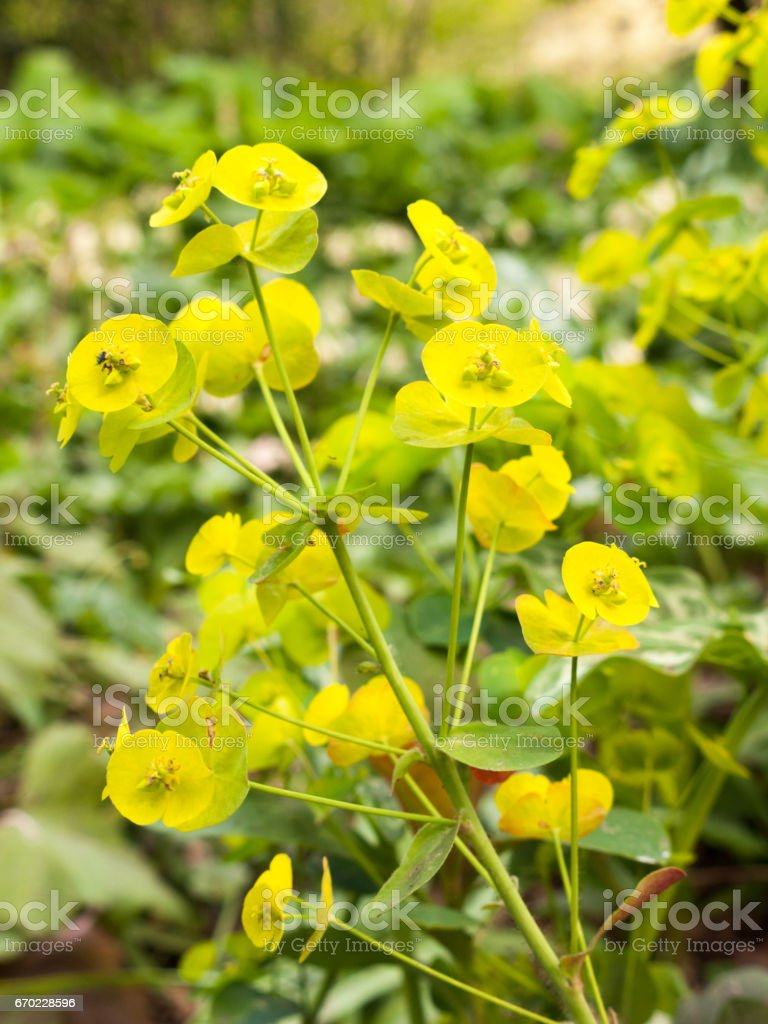 Beautiful Green Euphorbia in the spring and in the garden closeup stock photo