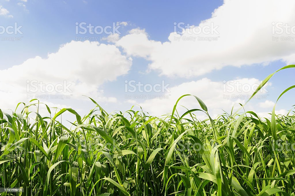 Beautiful Green Field Under Puffy Clouds royalty-free stock photo