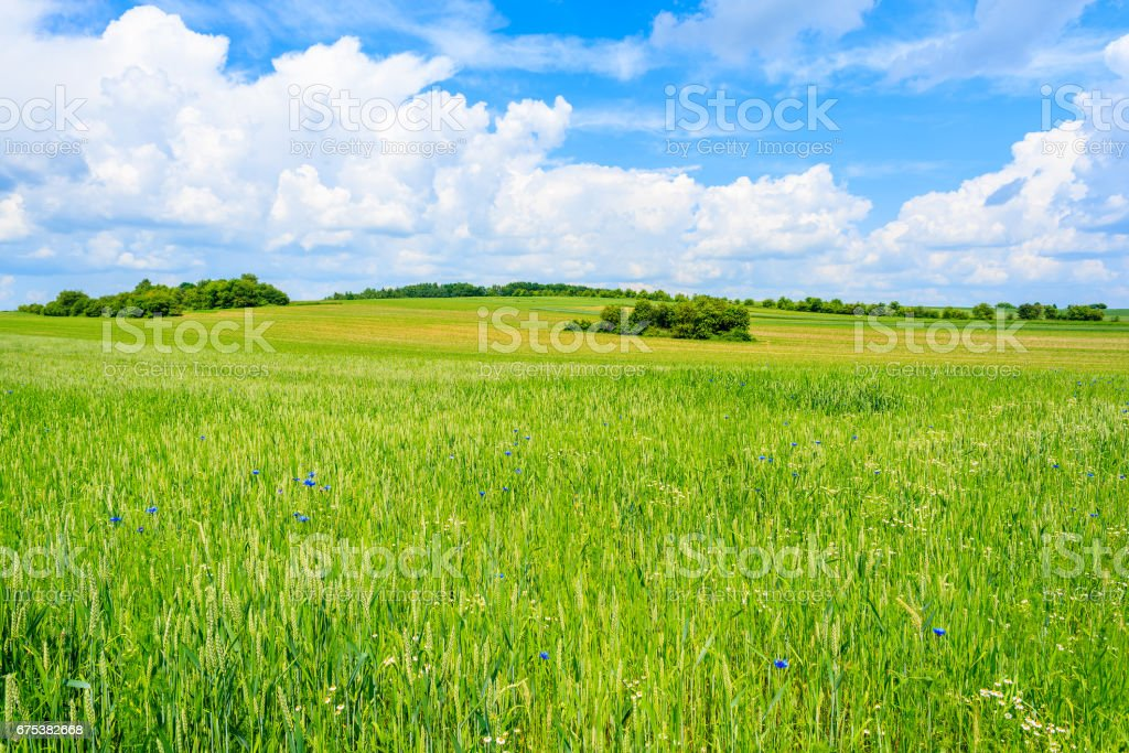 Beautiful green field with white clouds on blue sky in summer landscape, Poland stock photo