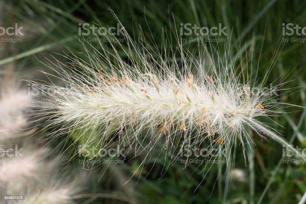 Beautiful green fluffy spikelets, soft grass.  Genista hispanica L. in Nikitsky Botanical Garden, Crimea. Spanish drok native from south europe. stock photo