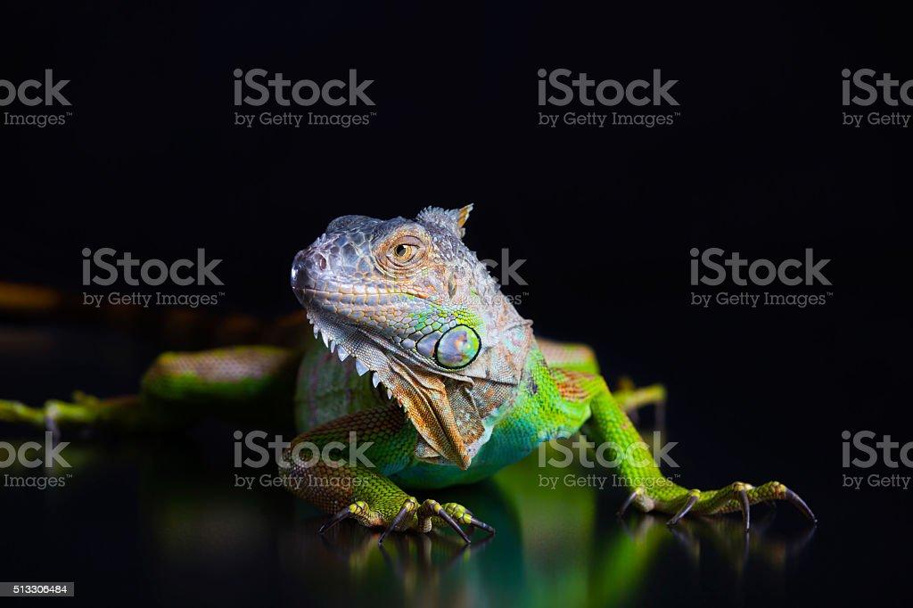 Beautiful green iguana stock photo