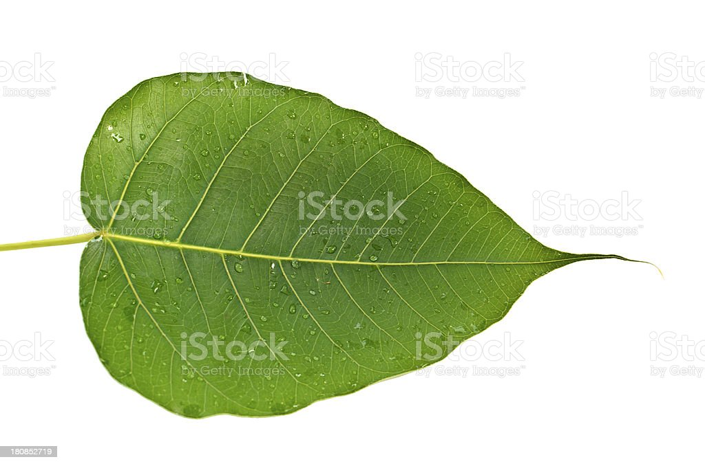 Beautiful green leaf isolated on white royalty-free stock photo