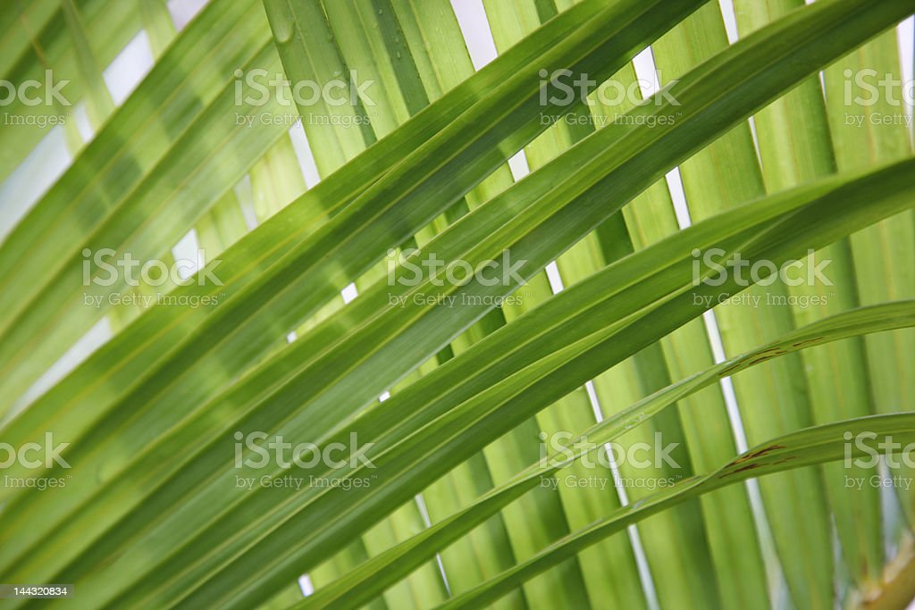 Beautiful Green Leaves from a Palm royalty-free stock photo