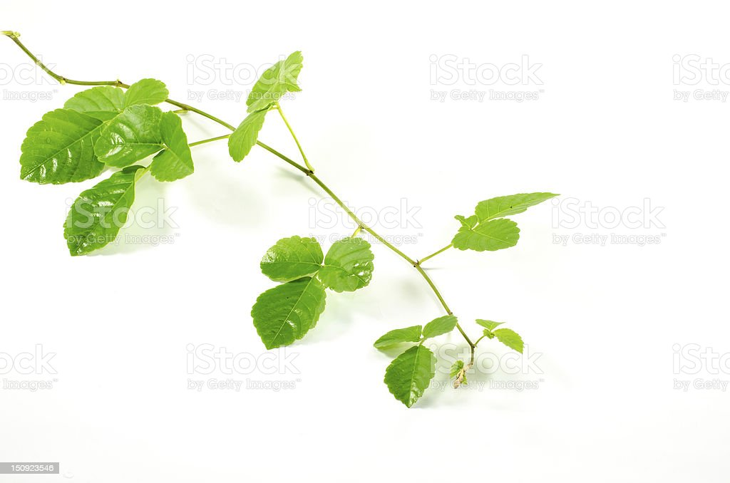 Beautiful green leaves on a white background royalty-free stock photo