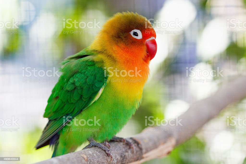 Beautiful green lovebird parrot stock photo