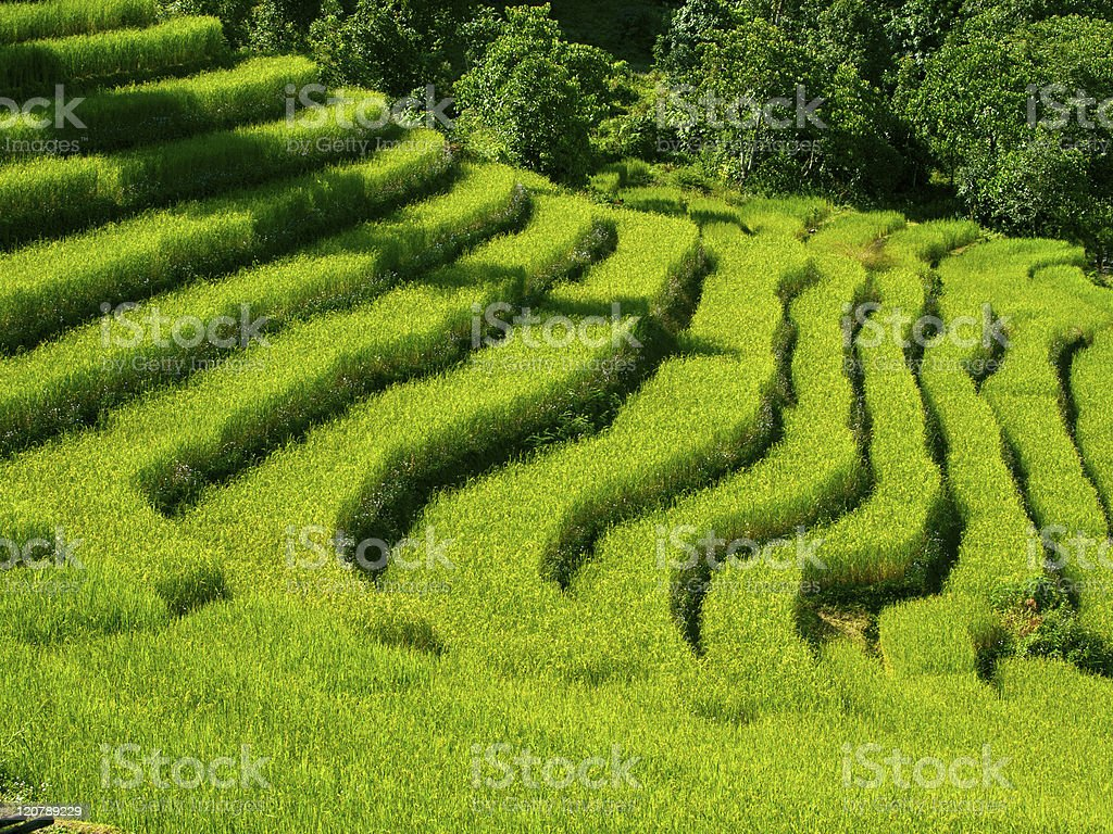 Beautiful green rice fields in Sikkim, India royalty-free stock photo