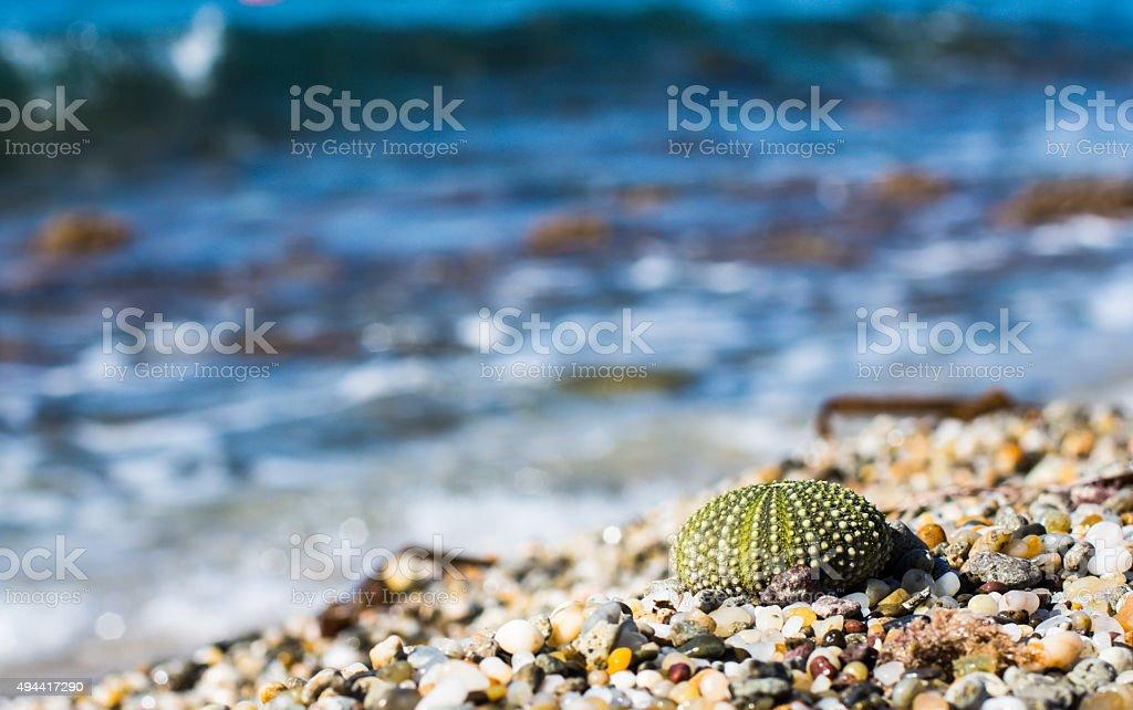 Beautiful green  shell of sea urchin stock photo