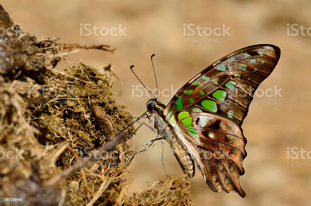 Beautiful green spot, Tailed Jay, butterfly sipping nectar on el stock photo