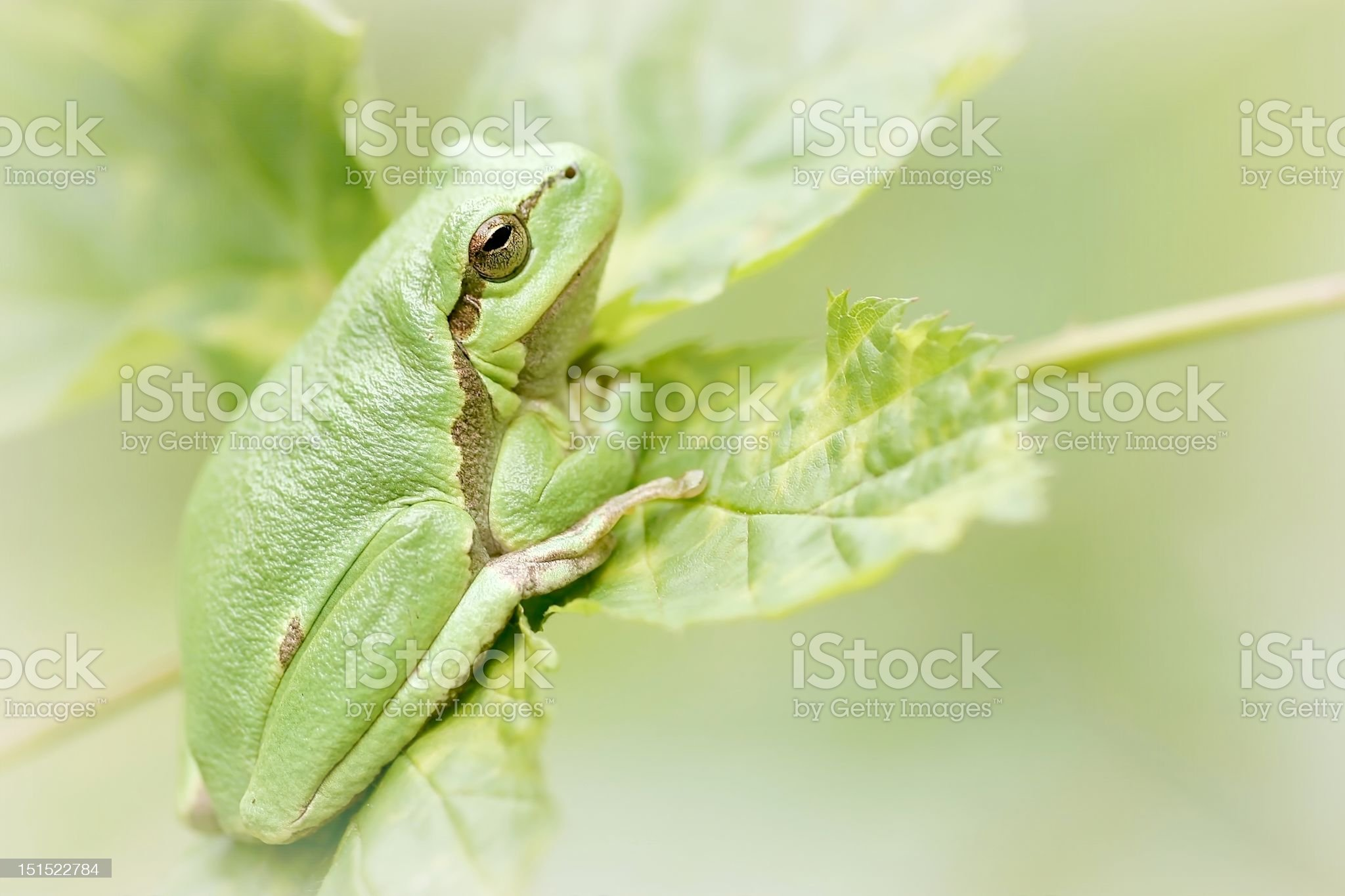 Beautiful green tree frog on a leaf royalty-free stock photo