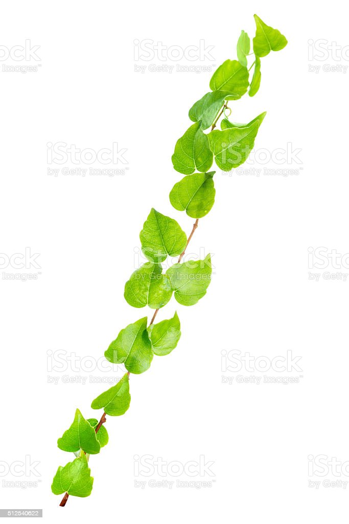 beautiful green twig of straight ivy is isolated on white stock photo