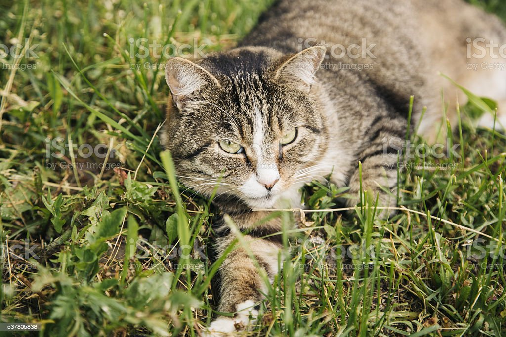 Beautiful grey cat lying on the grass outdoor stock photo