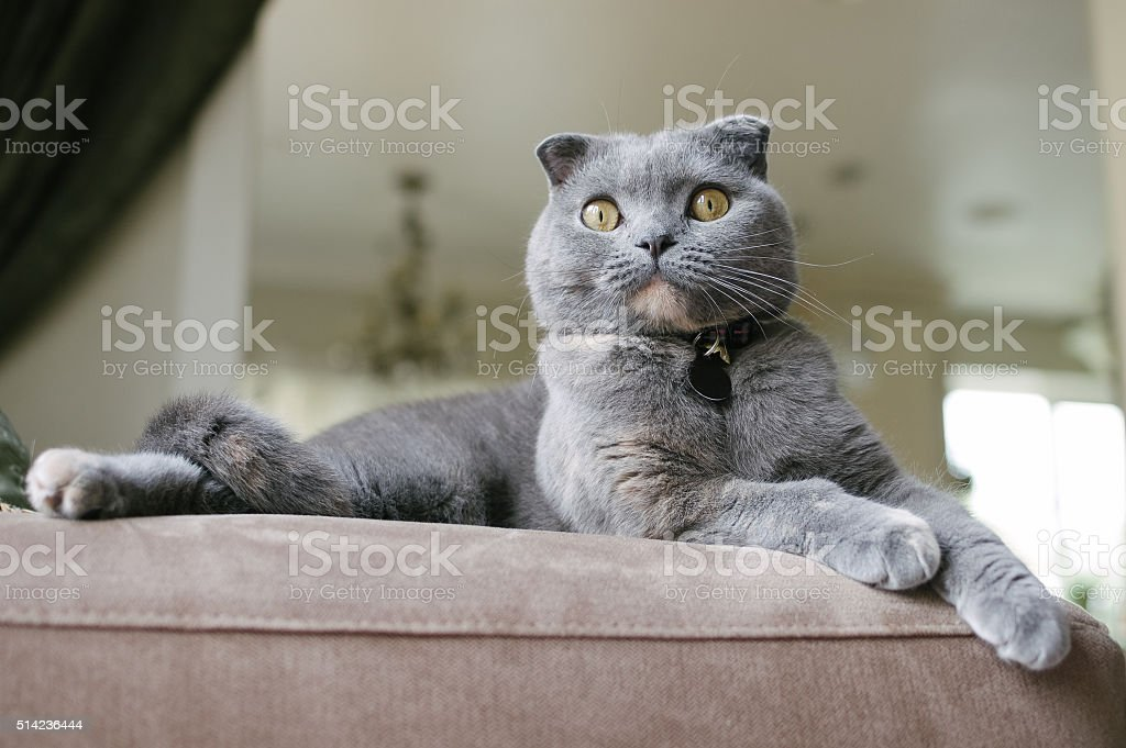 Beautiful Grey Scottish Fold Cat lounges on couch stock photo