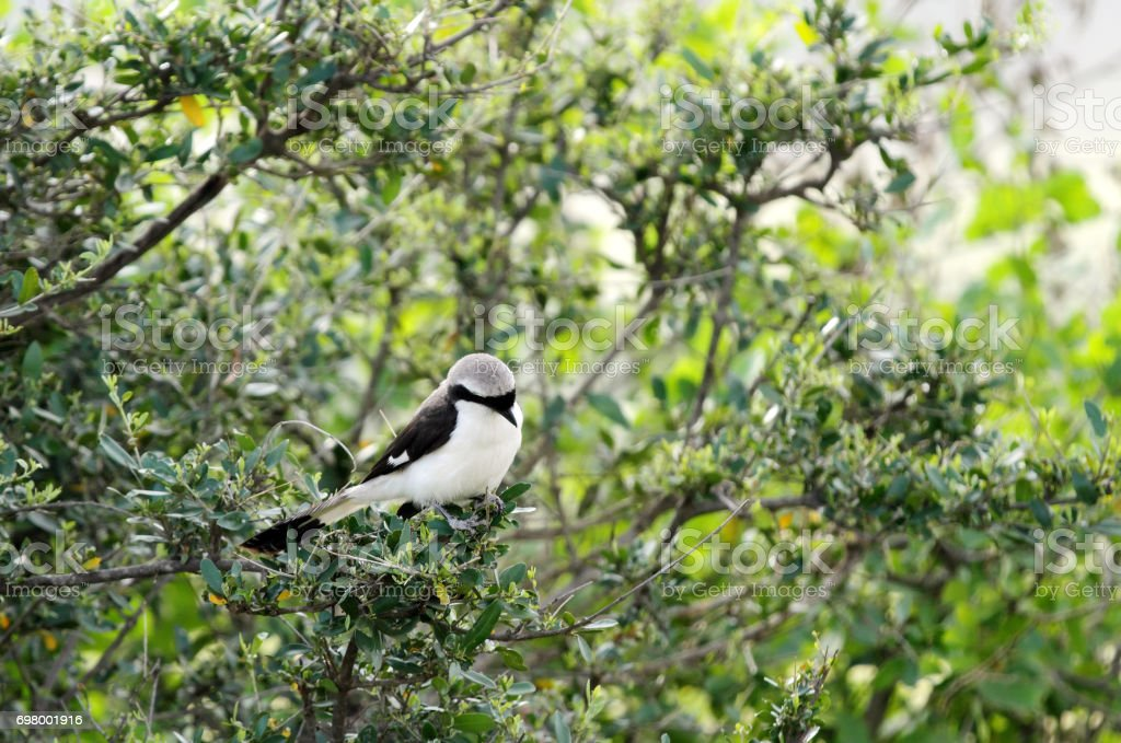 A beautiful Grey-Backed Fiscal stock photo