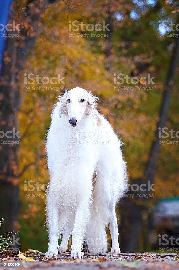 beautiful greyhound / collie / borzoi dog outdoors stock photo