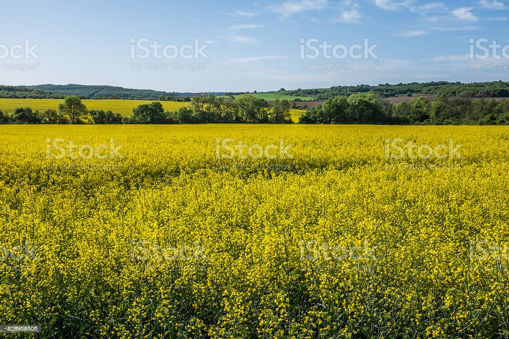 Beautiful gricultural rape fields stock photo