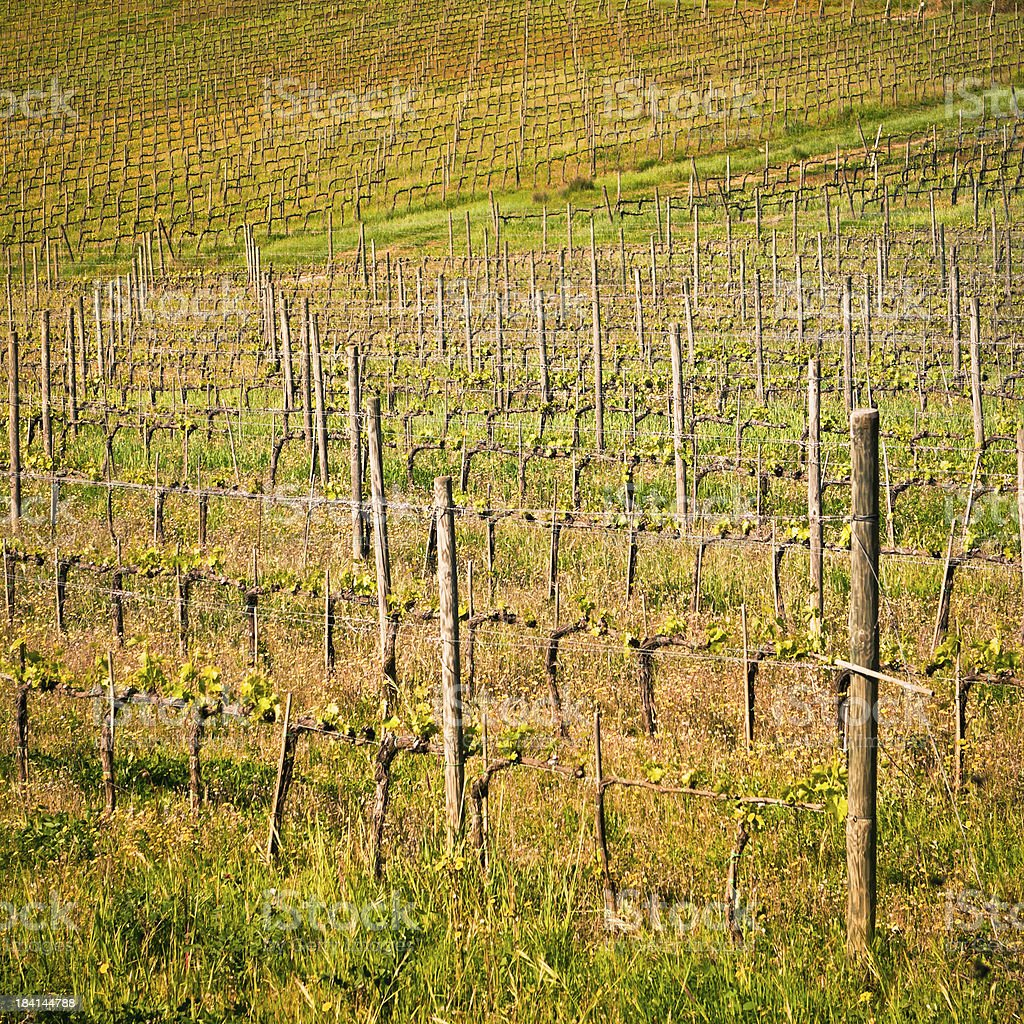 Beautiful Growing Vines in Tuscany, Italy stock photo
