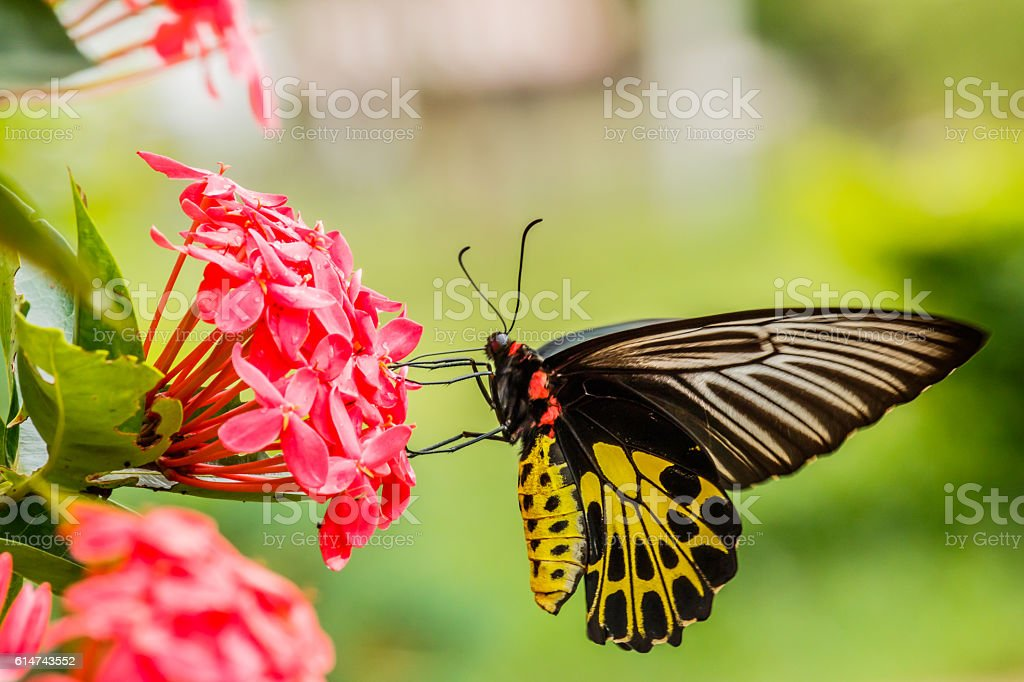 Beautiful Gulf Fritillary butterfly posed on a red flower feedin stock photo