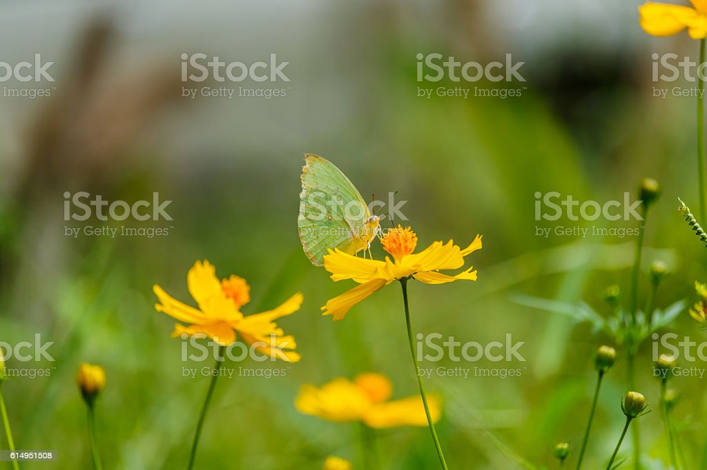 Beautiful Gulf Fritillary butterfly posed on a yellow flower fee stock photo