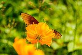 Beautiful Gulf Fritillary butterfly posed on a yellow flower fee