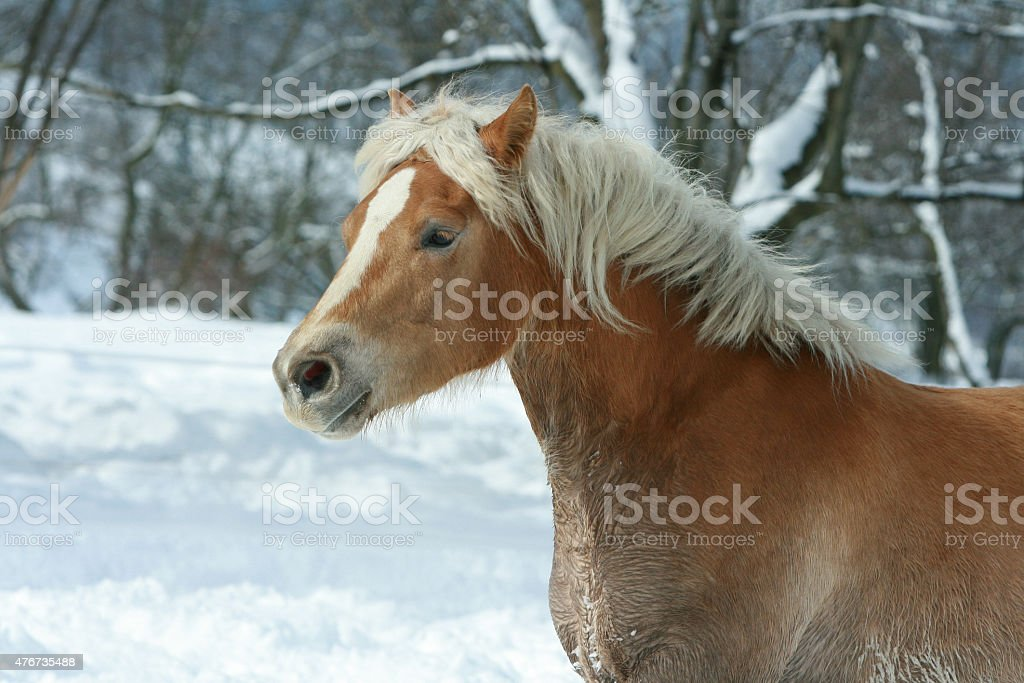 Beautiful haflinger with long mane running in the snow stock photo