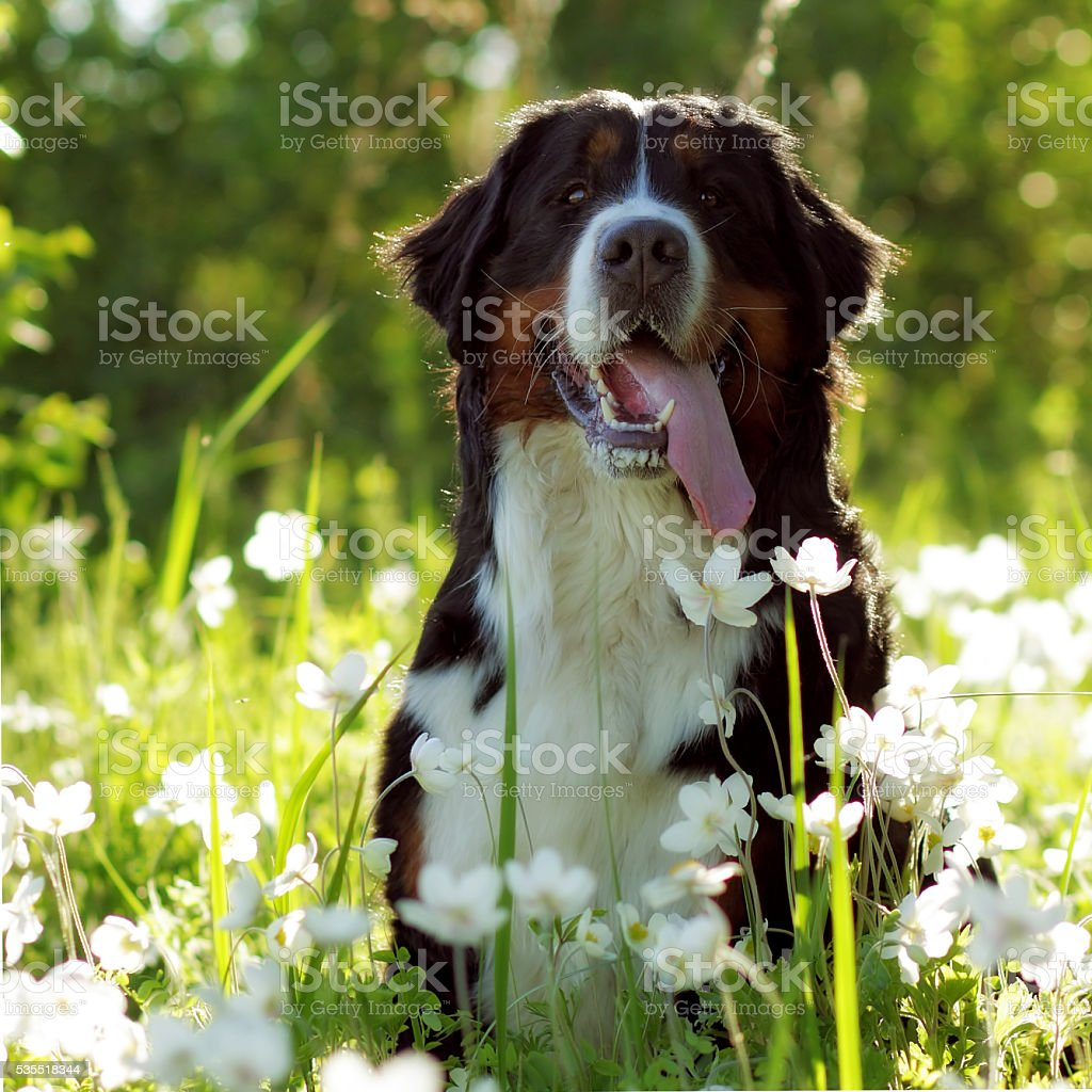 beautiful happy Bernese mountain dog stock photo