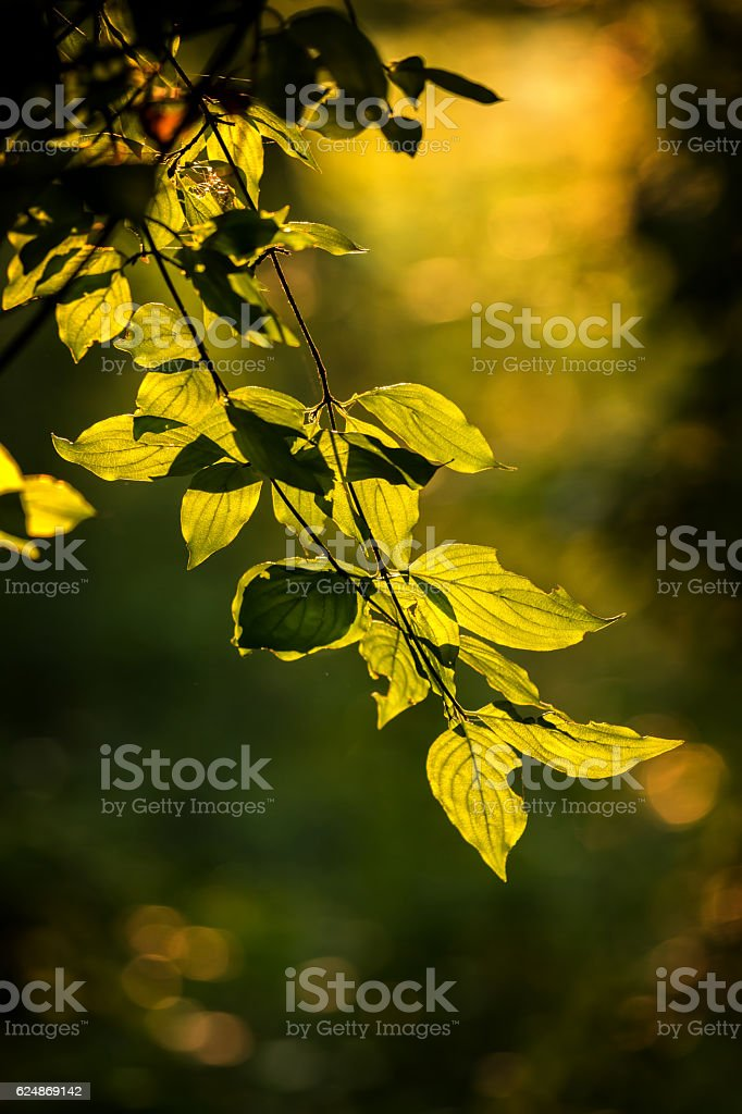 Beautiful, harmonious forest detail, with Cornelian cherry leave stock photo