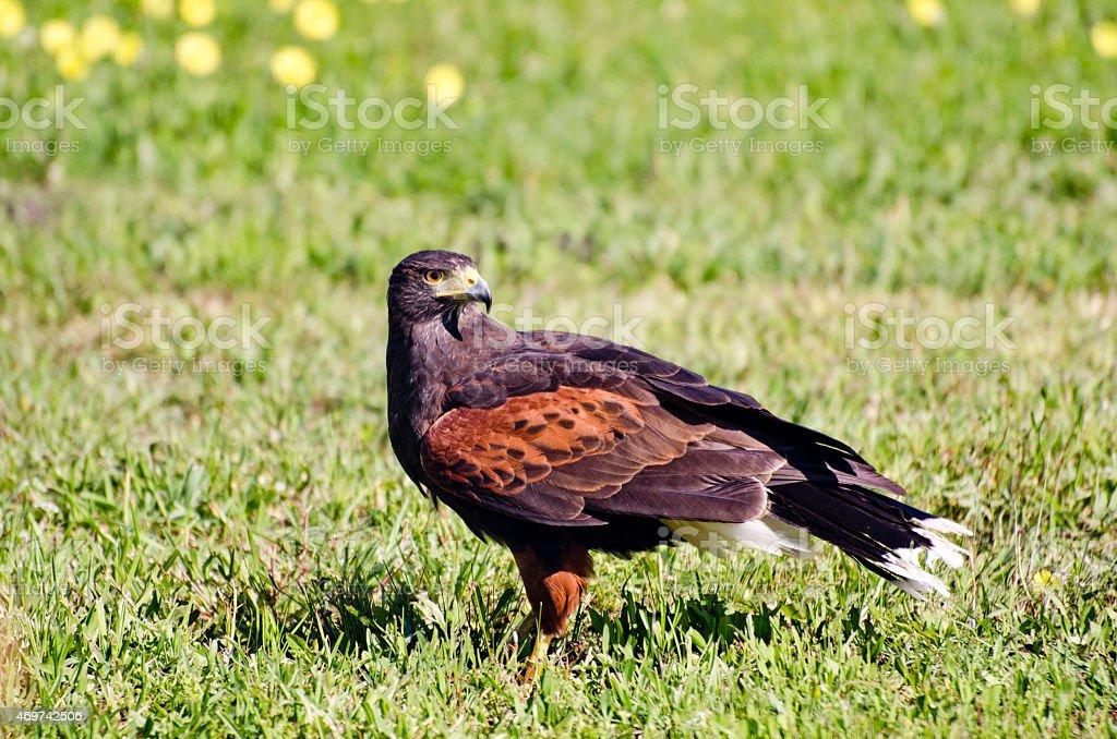 Beautiful Harris Hawk In Green Grass stock photo