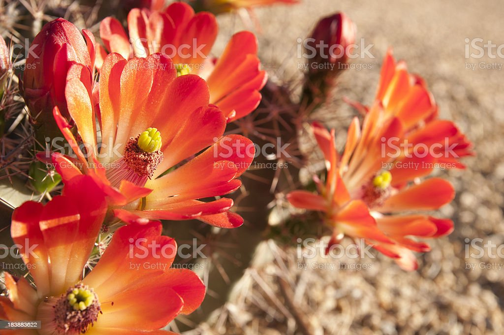 Beautiful Hedgehog Blossoms stock photo